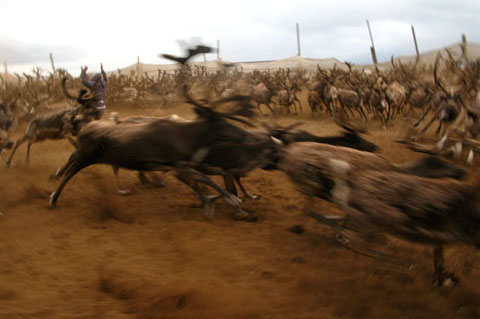 Fighting Reindeer