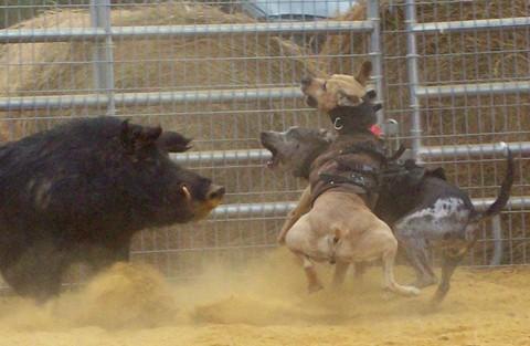 Dog vs Hog