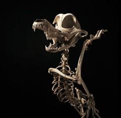 WileECoyoteSkeleton